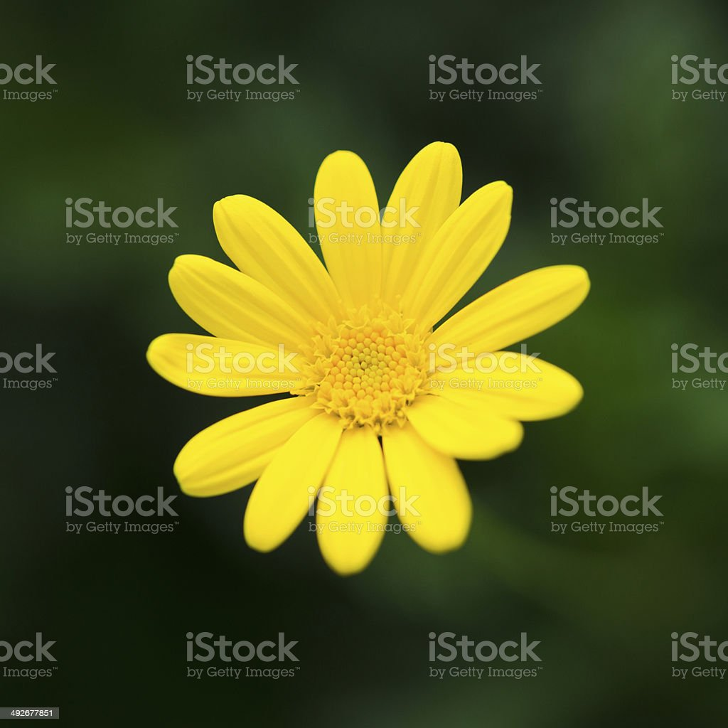 Close up of yellow daisy background royalty-free stock photo