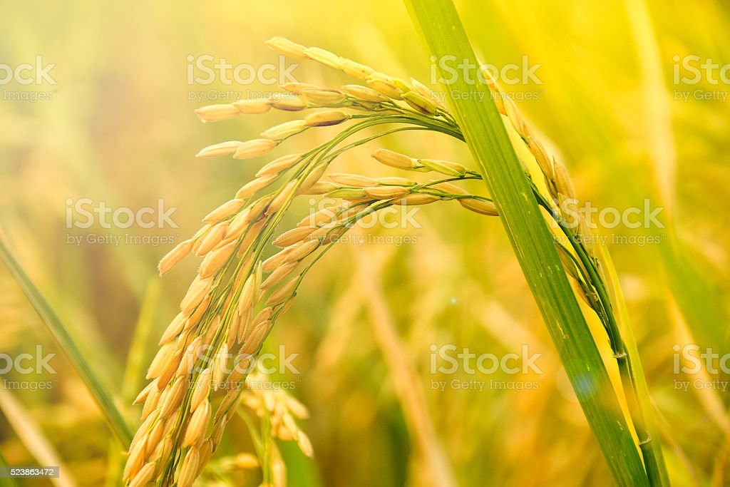 Close up of Yellow paddy rice plant. spike rice field stock photo