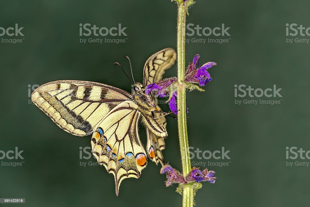 Close up of Yellow swallowtail butterfly stock photo