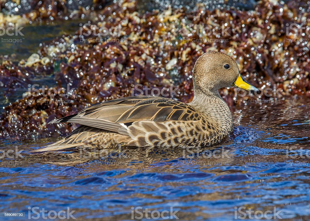 Close up of yellow-billed pintail in South Georgia stock photo
