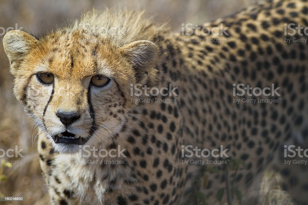 Close up  of young cheetah, Kenya, East Africa stock photo