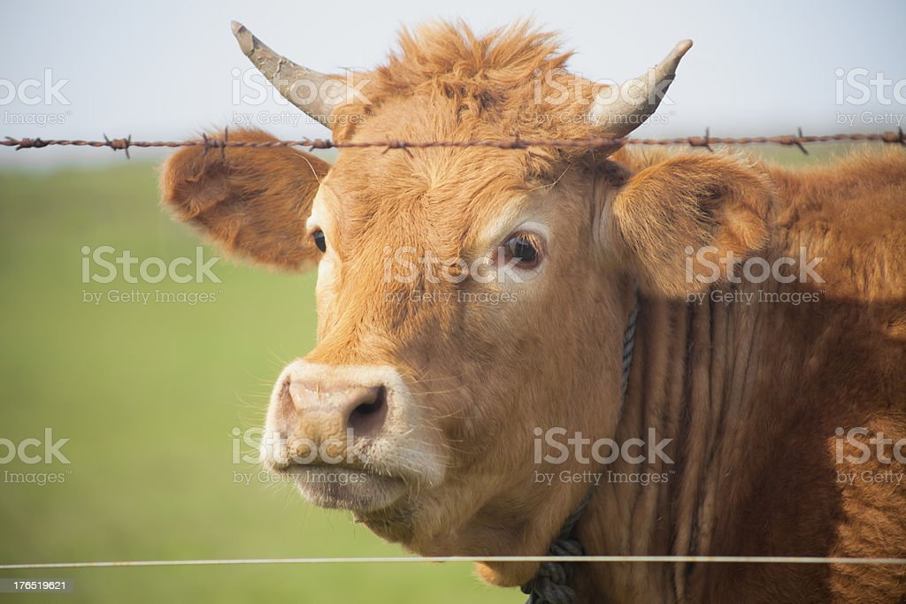 Close up of young cow royalty-free stock photo