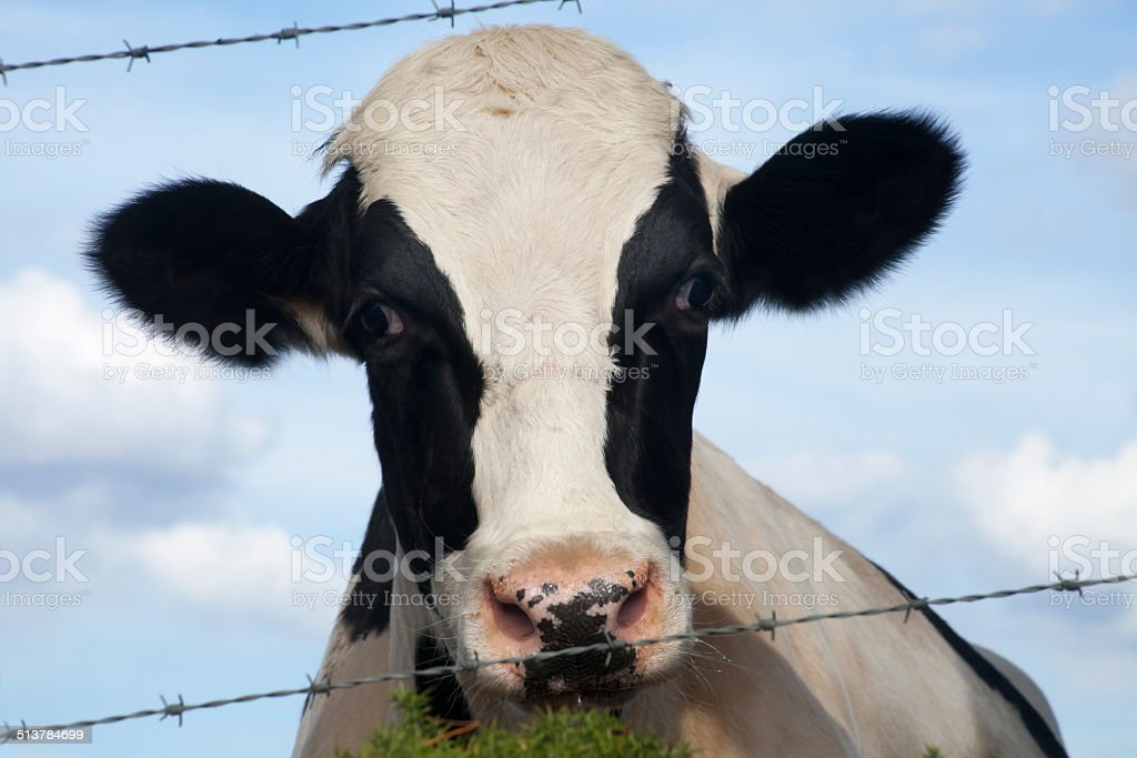Close up of young cow stock photo