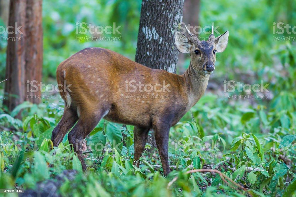 Close up of young Hog deer stock photo