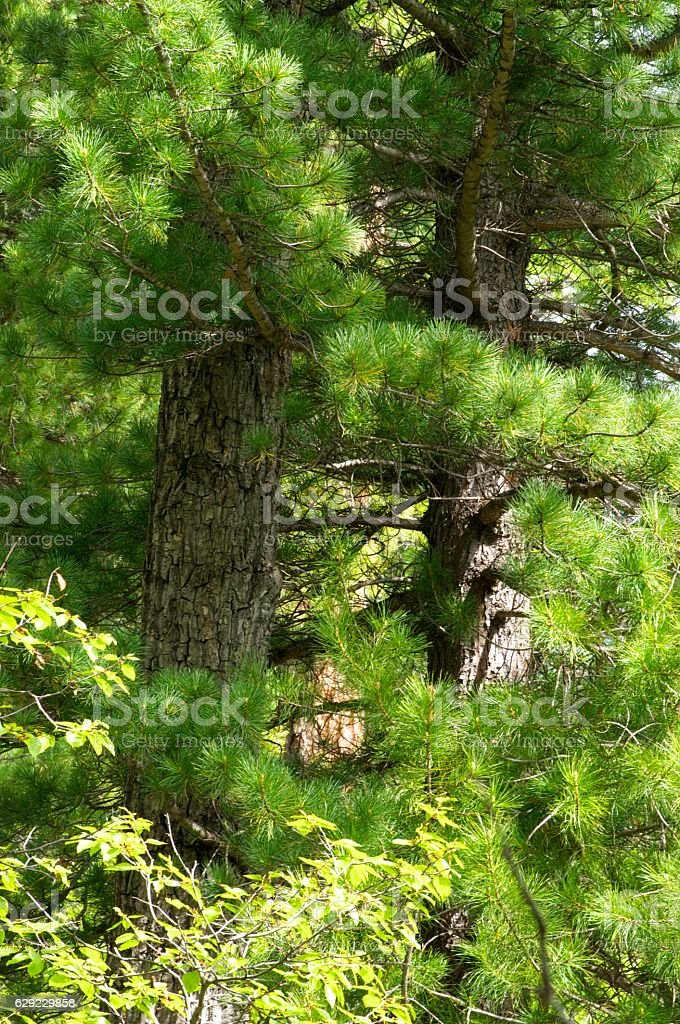 Close up of young larch needles stock photo