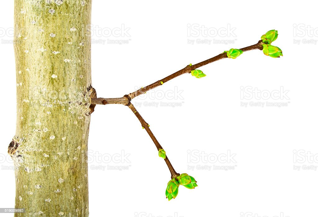 Close up of young tree branch on a white background stock photo