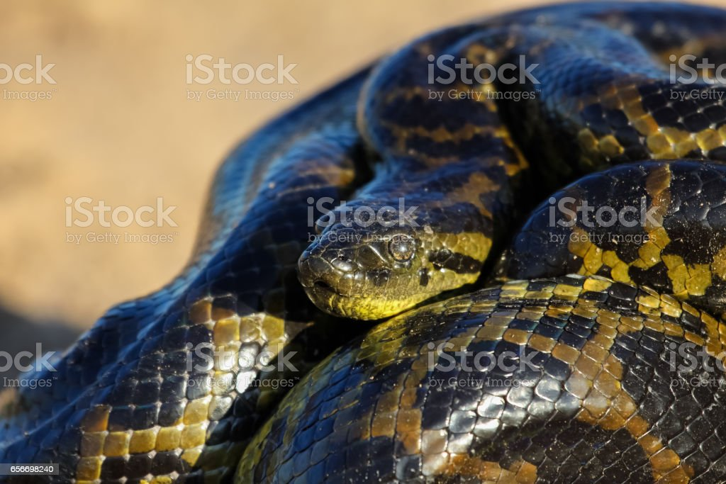 Close up of young Yellow anaconda laying on the ground stock photo