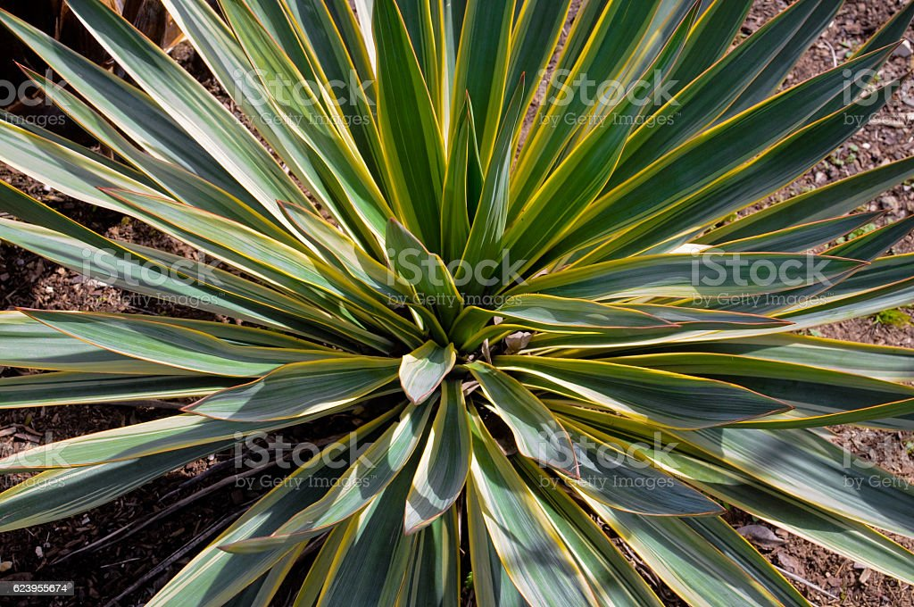 Close up of yucca plant in flower bed. stock photo