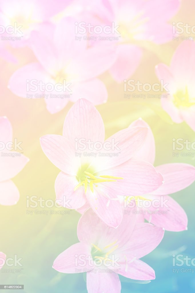 Close up of Zephyranthes lily in color filter stock photo