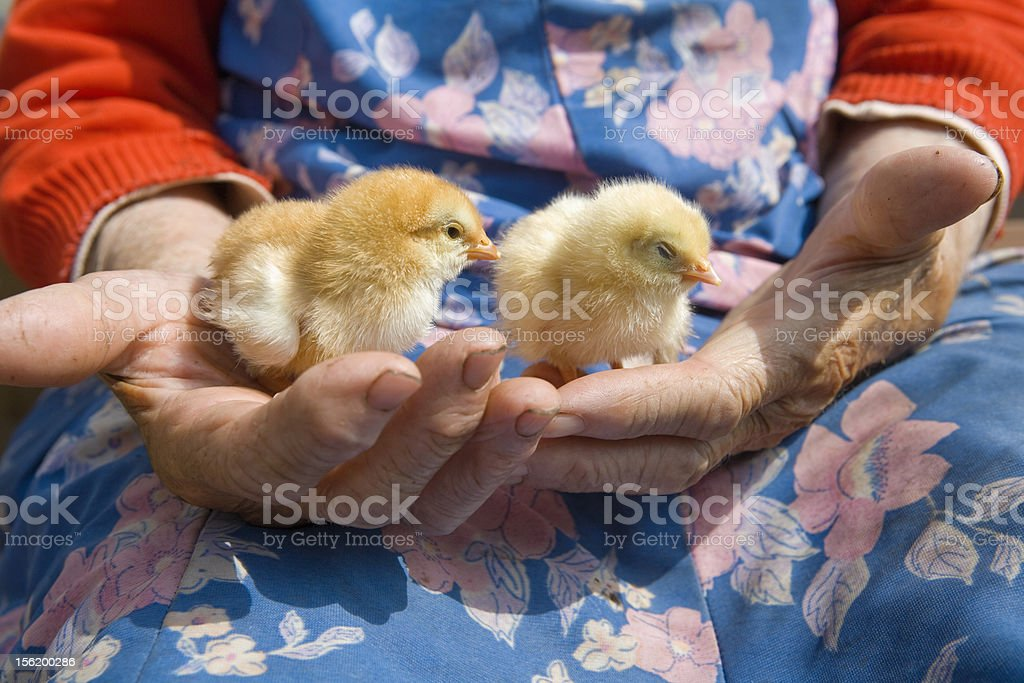 close up og hands holding chicken royalty-free stock photo