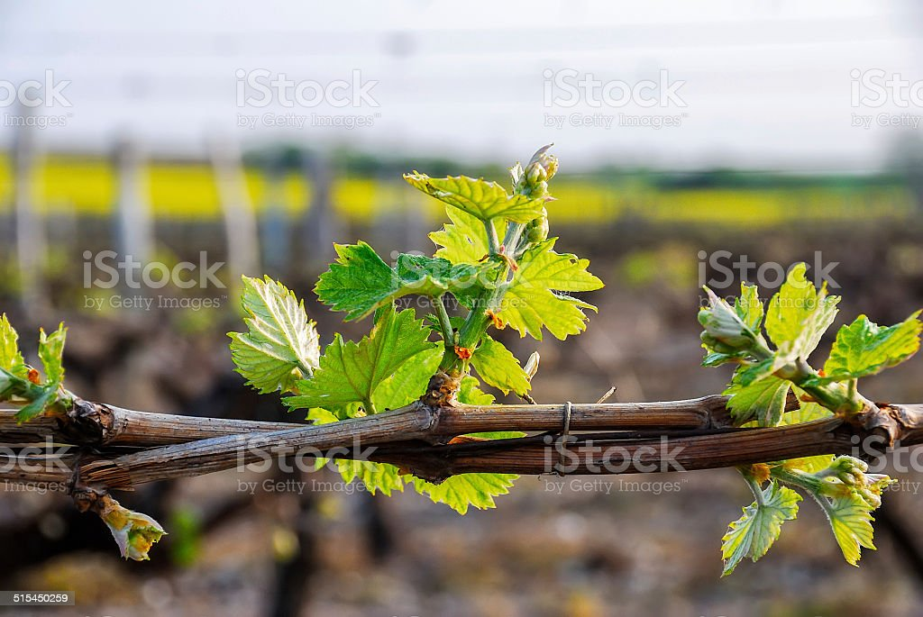 close up on a young vine in a french vineyard royalty-free stock photo