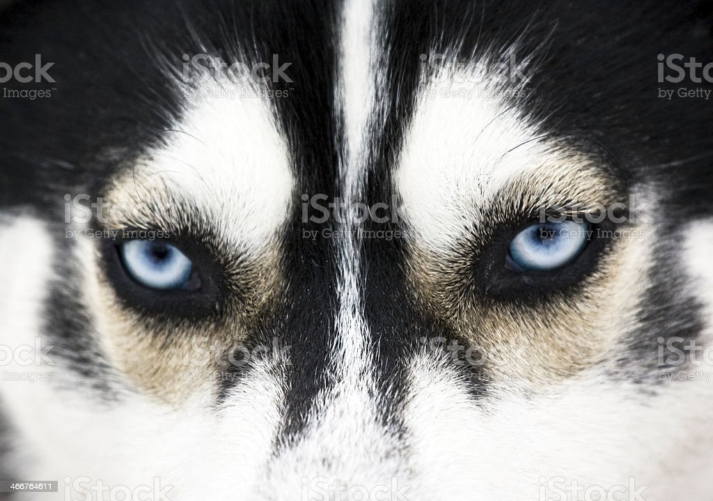 Close up on blue eyes of a dog stock photo