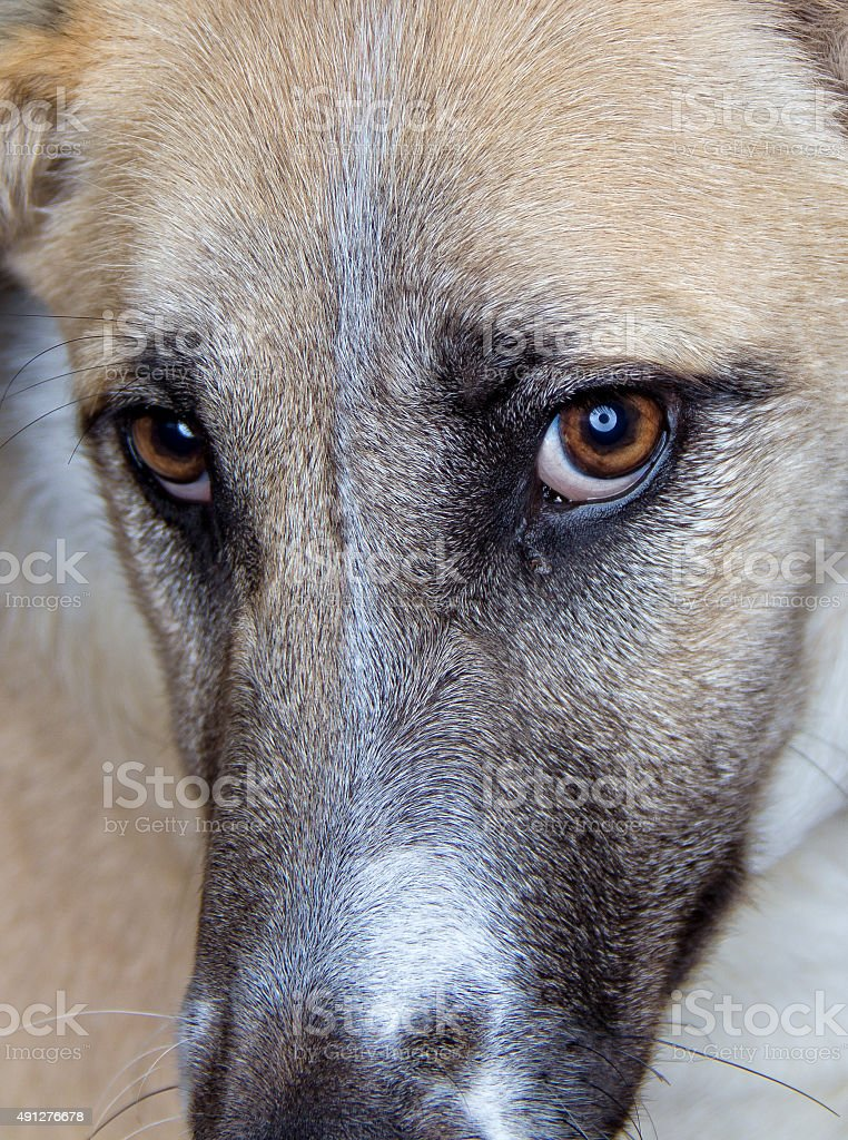 close up on dogs eyes stock photo