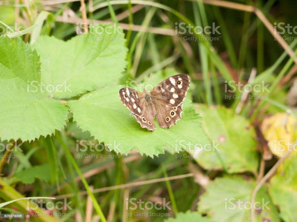 close up on leaf Speckled Wood Butterfly (Pararge aegeria) stock photo