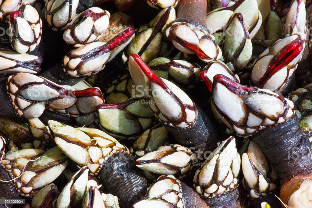 Close up on pile of Galician Percebes, Barnacles stock photo