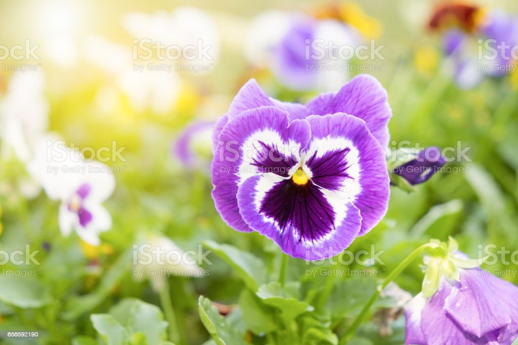 Close up on purple pansy flower in the garden at sunny day stock photo