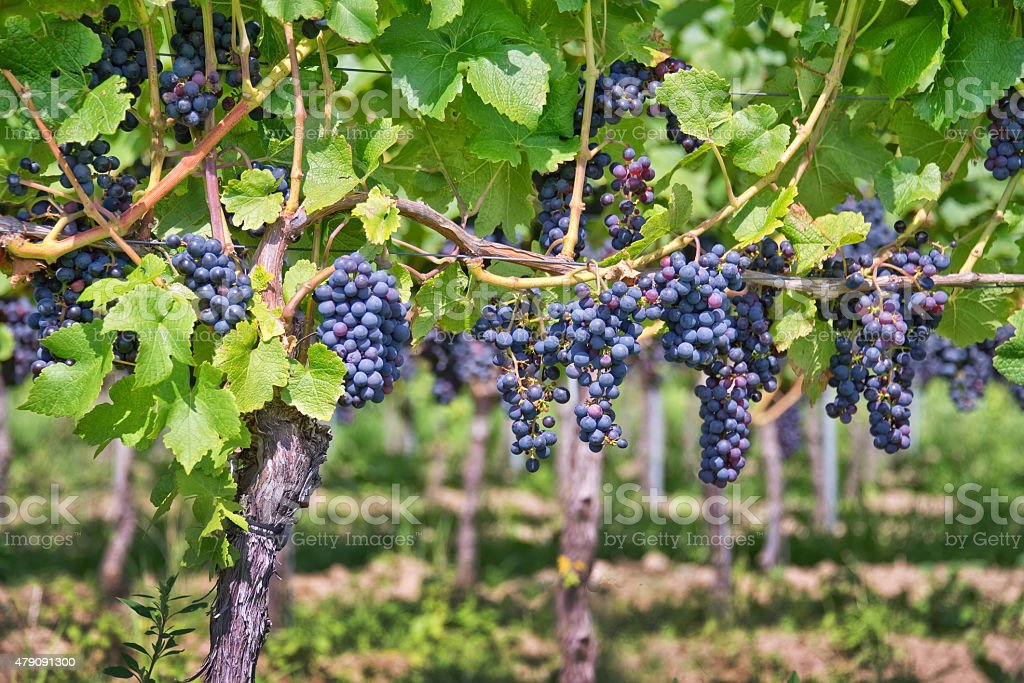 Close up on red black grapes in a vineyard stock photo