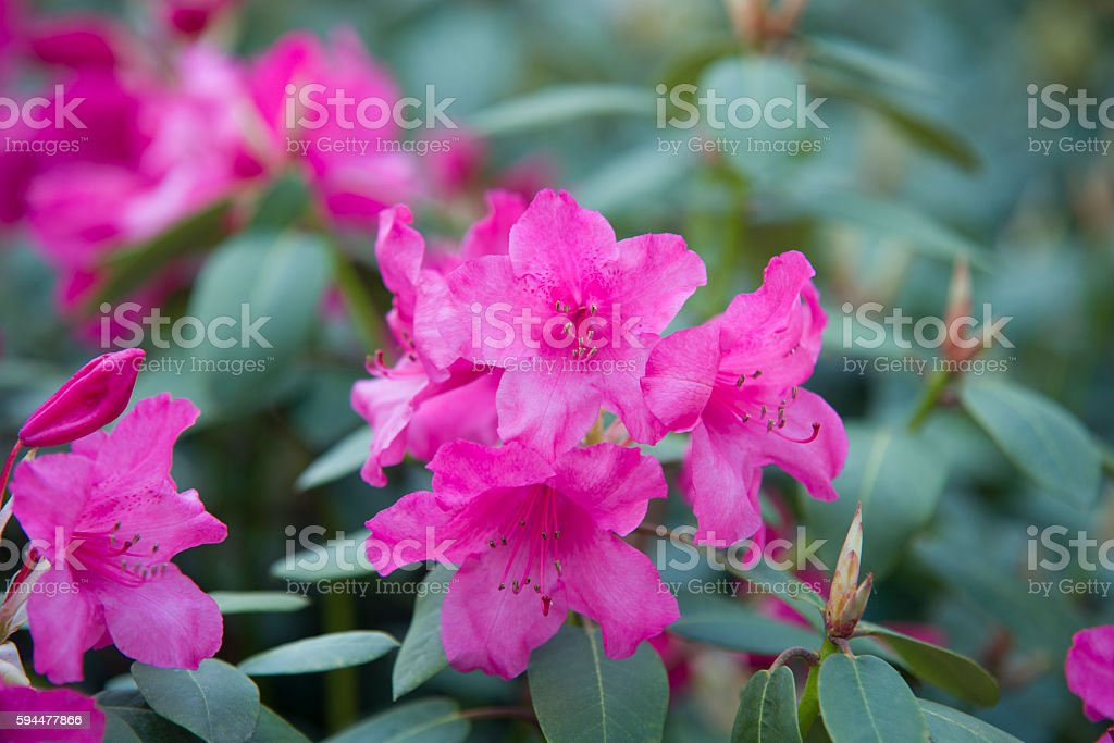 close up on Rhododendron flower stock photo