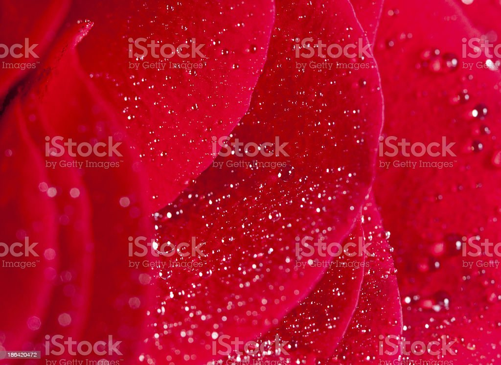 Close up on rose petals royalty-free stock photo