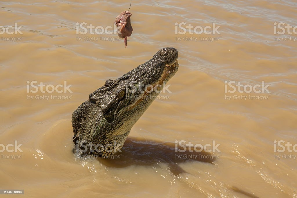 Close up on Saltwater Crocodile looking to grab raw meat stock photo