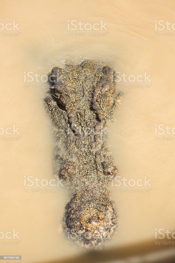 Close up on Saltwater Crocodile's head stock photo
