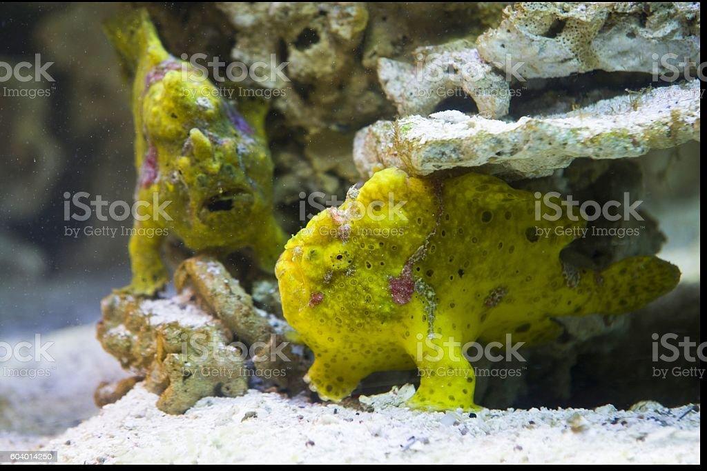close up on striped frogfish (antennarius striatus) stock photo
