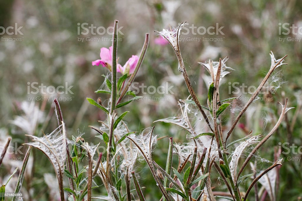 Feathery wind-blown seeds of great willowherb Epilobium hirsutum stock photo