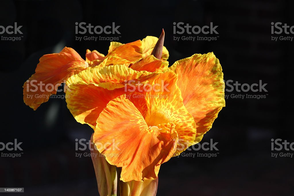 Close up Orange Cannas flower with great depth of field stock photo