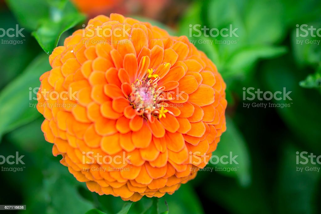 Close up orange colored zinnia elegans blooming in garden stock photo