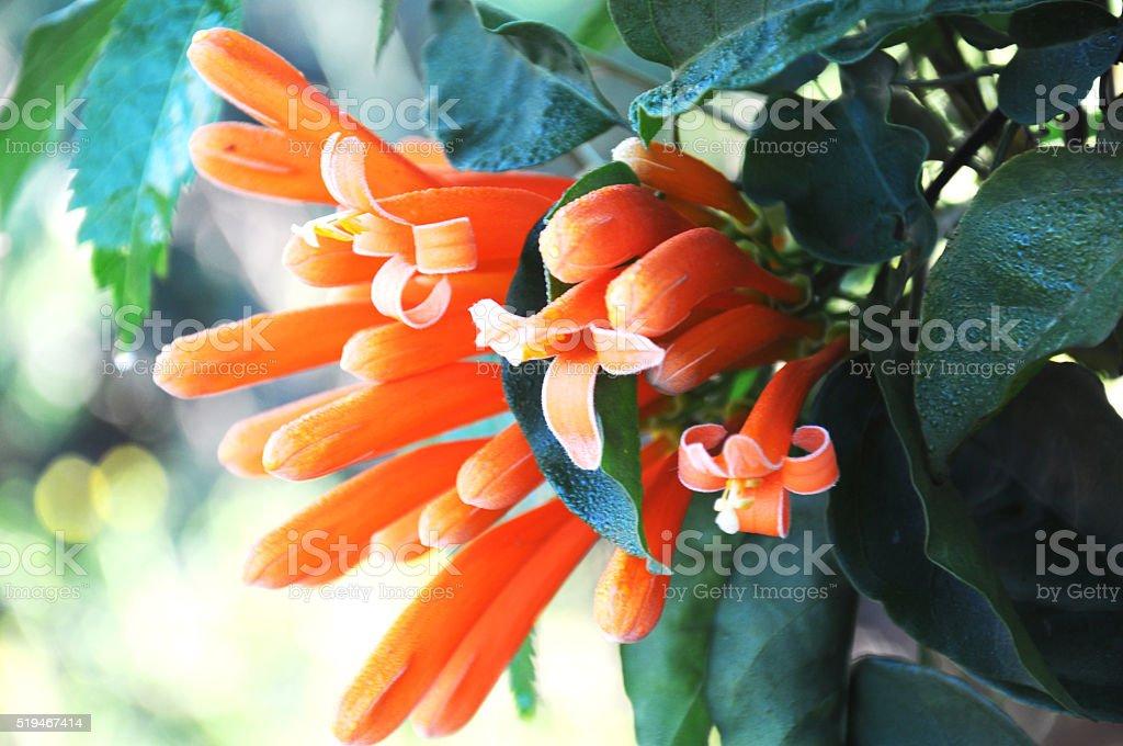 close up orange Coral Plant ,Fountain Plantt stock photo