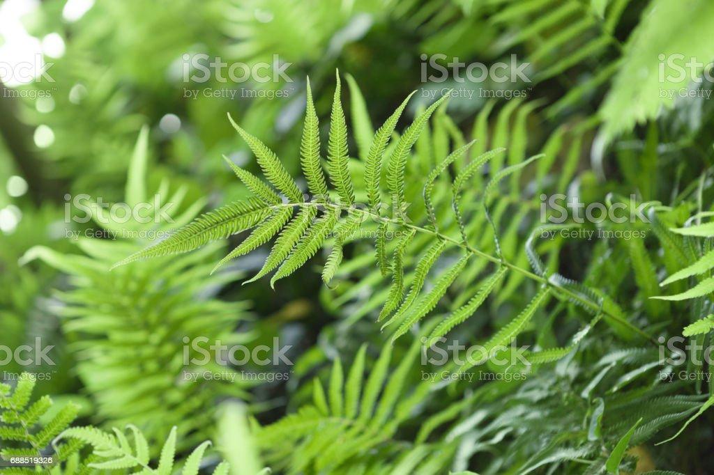 Close up ourdoors shot of fern or pteridium aquilinum shrub stock photo