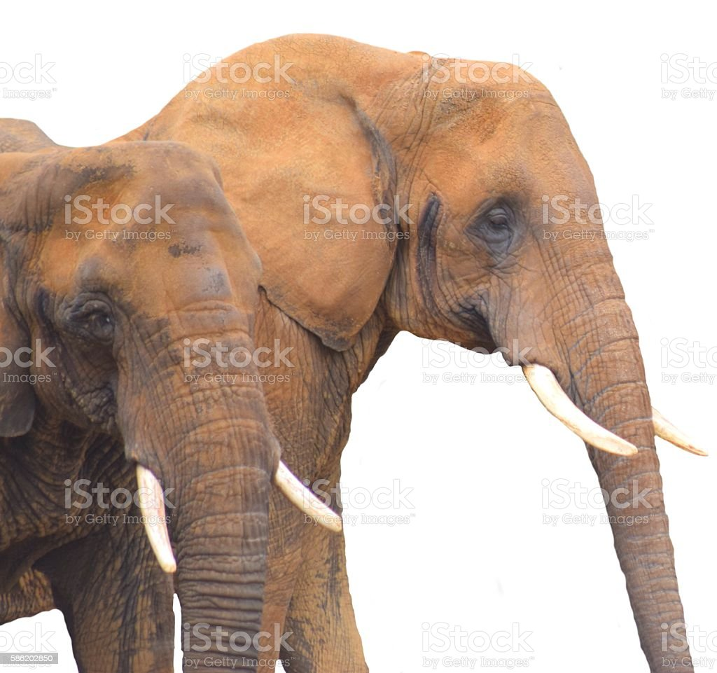 close up pair elephants isolated on a white background stock photo