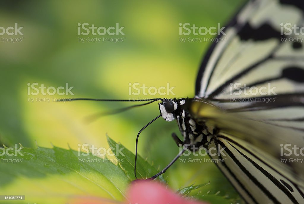 Close up paper white butterfly feeding on flower royalty-free stock photo