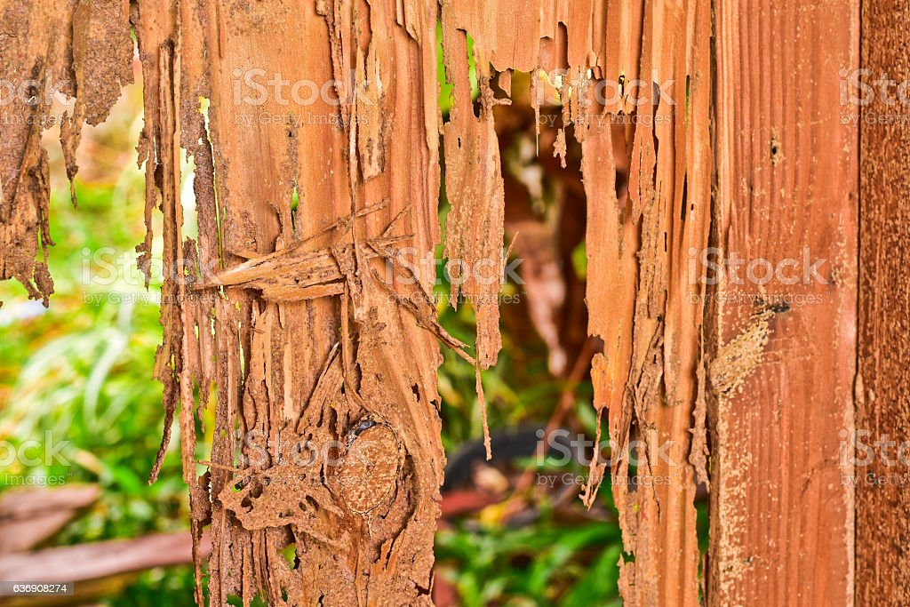 Close up part of a wood decay from termites eat stock photo