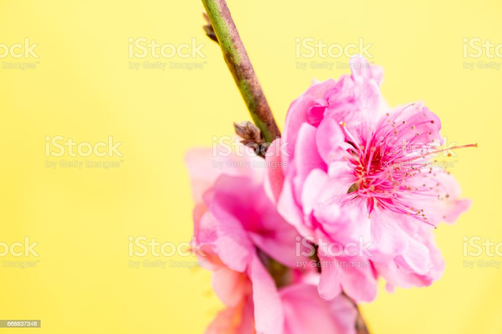 Close Up Peach Flower On Yellow Background stock photo