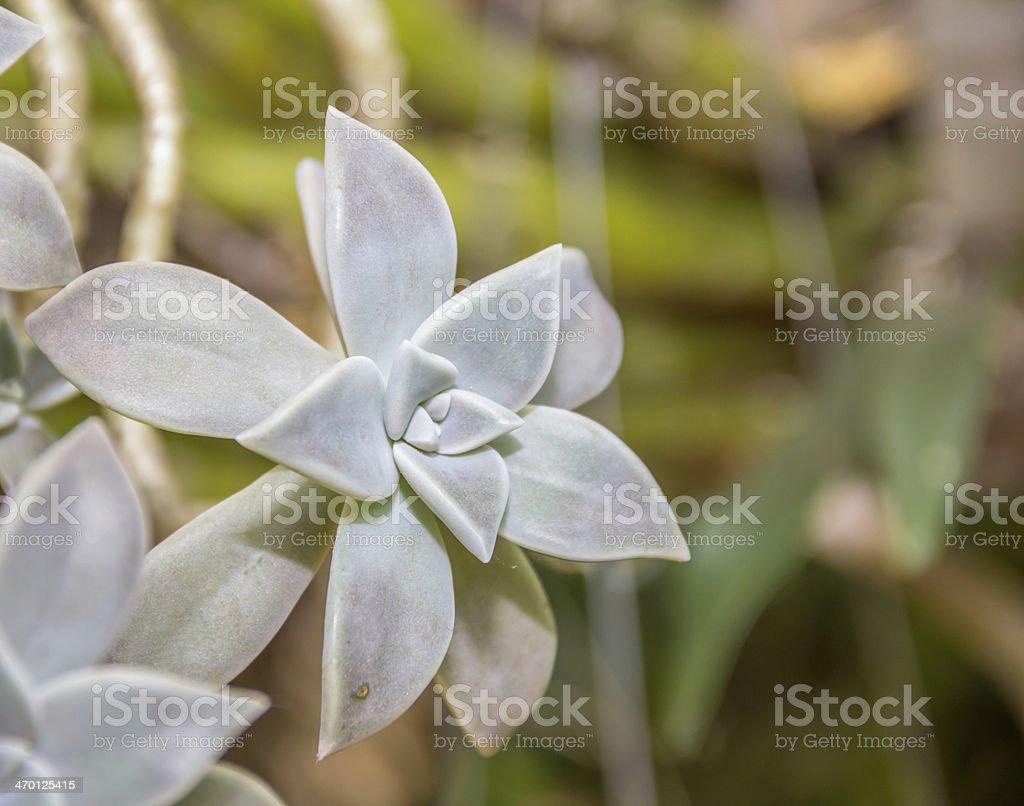 Close up Peacock Echeveria Cactus royalty-free stock photo