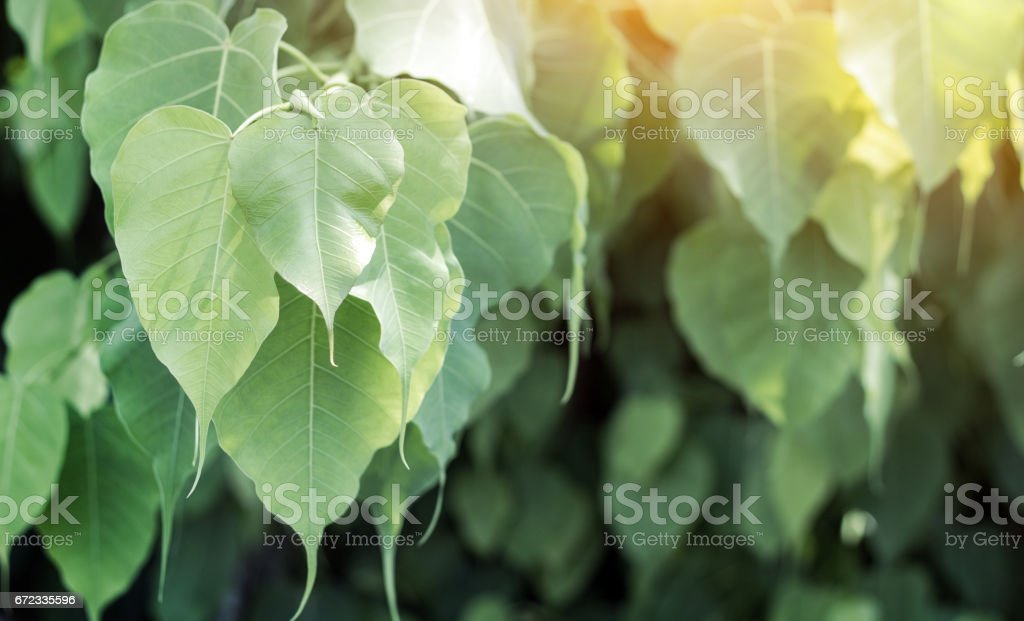 close up phoe leaf on sunny day stock photo