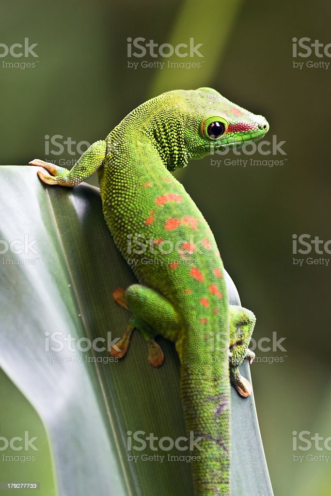 Close up photo of a green gecko on a leaf stock photo