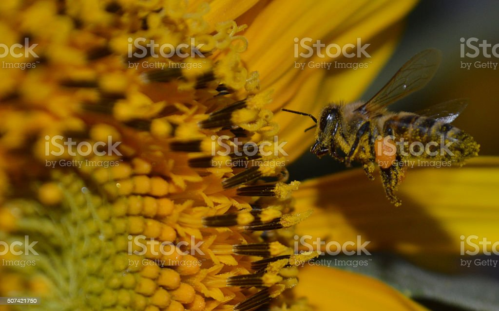 Close up photo of a pollinator honey bee stock photo