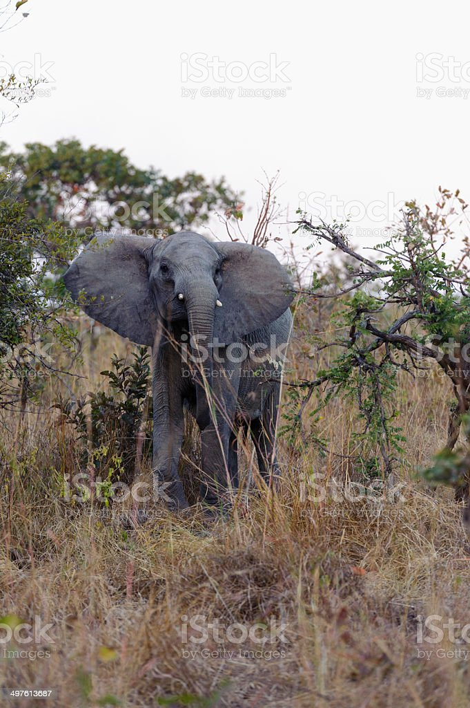 close up photo of an african elephant in kafue nationalpark royalty-free stock photo