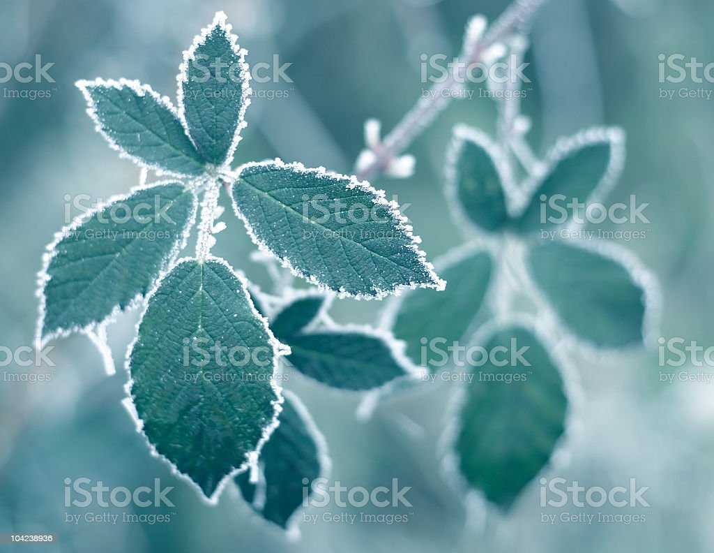 Close up photo of frosted leaves on a branch royalty-free stock photo