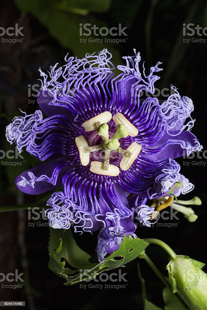Close up photo of Passiflora incarnata flower in botanic garden. stock photo