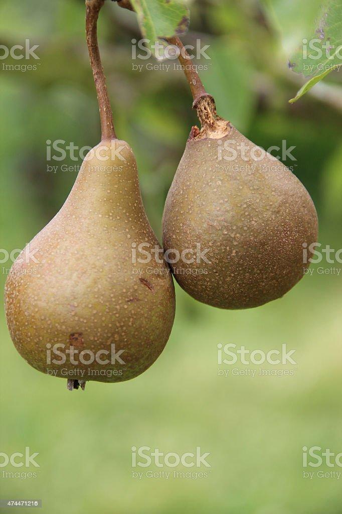 Primer plano, foto de dos peras en un árbol. foto de stock libre de derechos