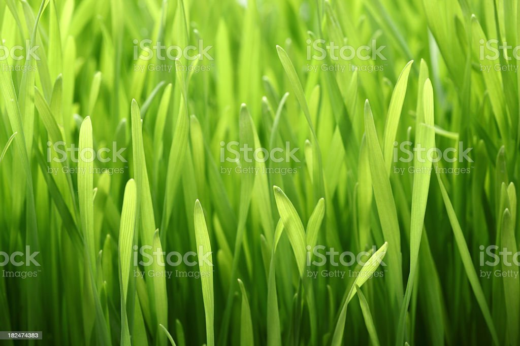 Close up photograph of lush wheatgrass stock photo