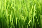 Close up photograph of lush wheatgrass