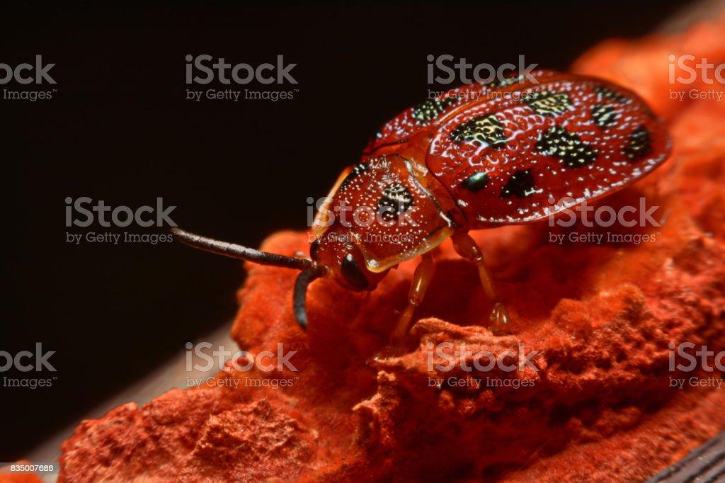 Close up photos of colorful ladybugs (Coccinellidae) on wood background stock photo
