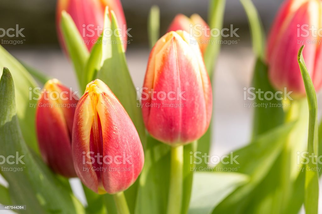 Close Up Pink and Yellow Spring Tulips stock photo