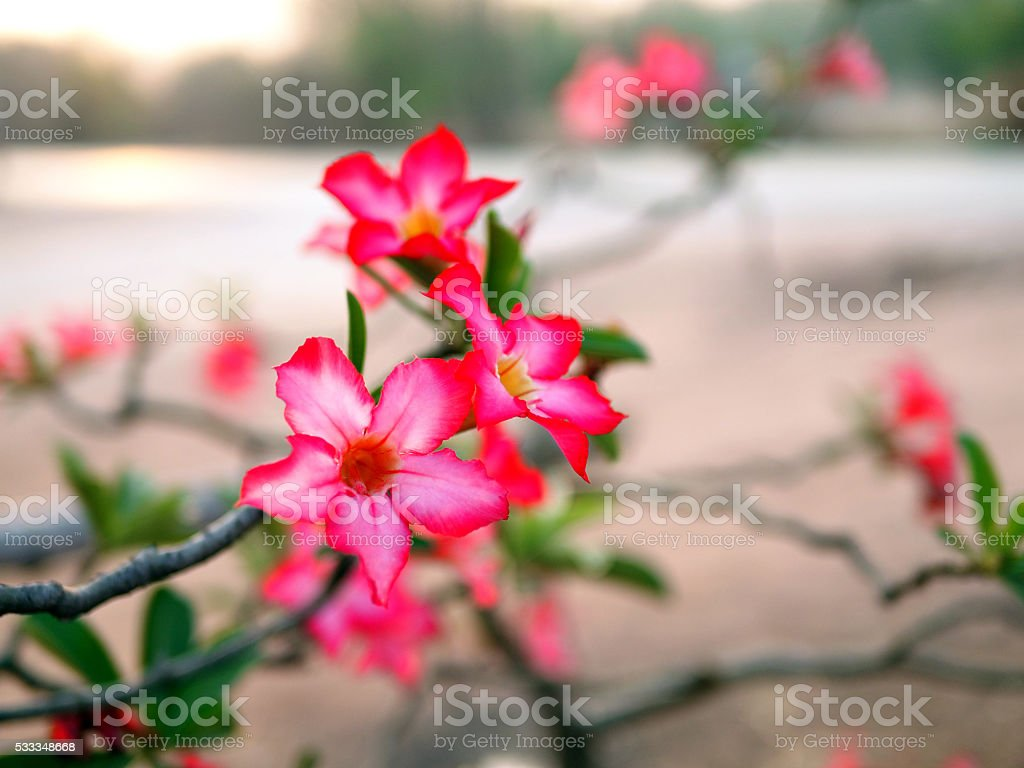 Close up Pink Desert Rose or  Mock Azalea flower stock photo