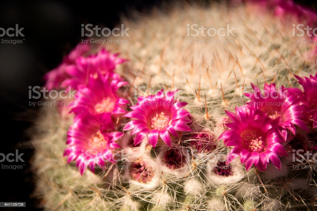 Close up pink flower on Mammillaria boolii cactus stock photo