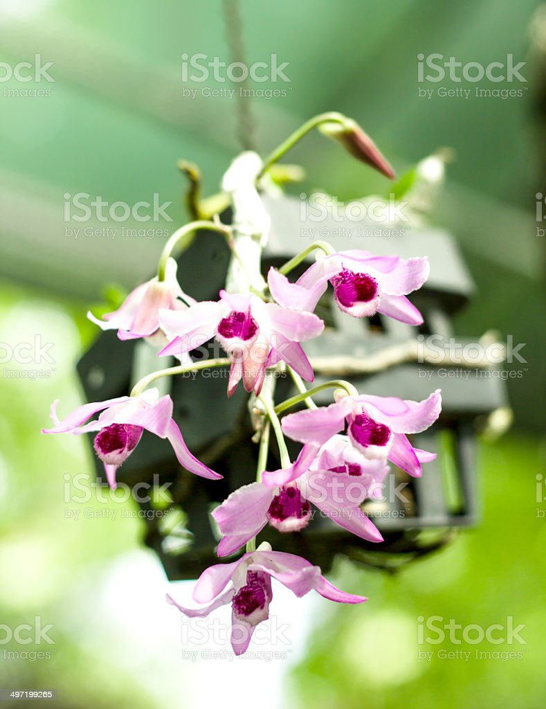 close up pink orchid royalty-free stock photo